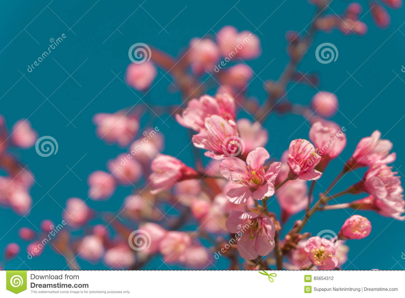 Beautiful Pink white Cherry blossom flowers tree branch in garden with blue sky, Sakura. natural winter spring background.