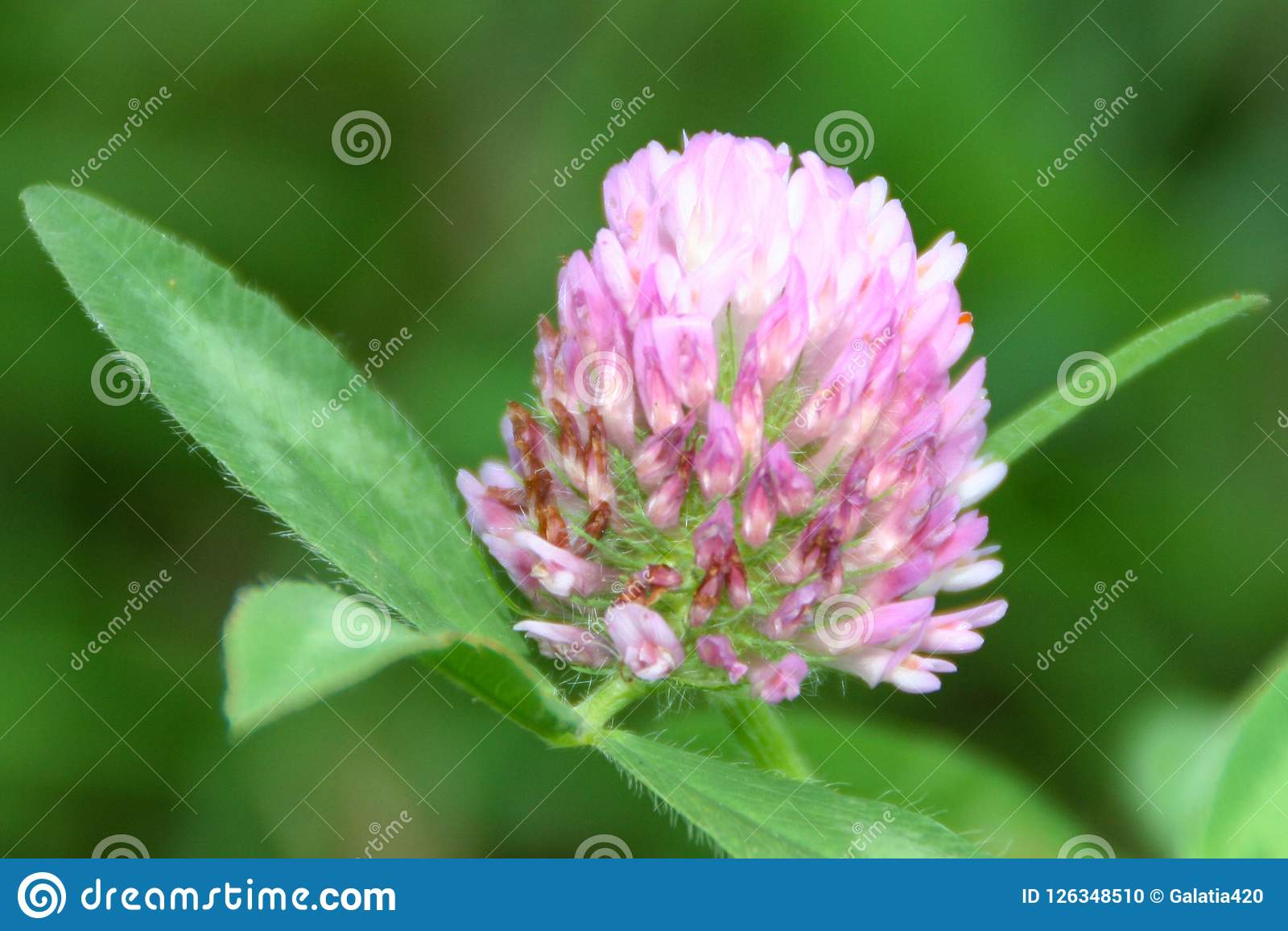 Really Beautiful Pink And White Flower Stock Photo Image Of