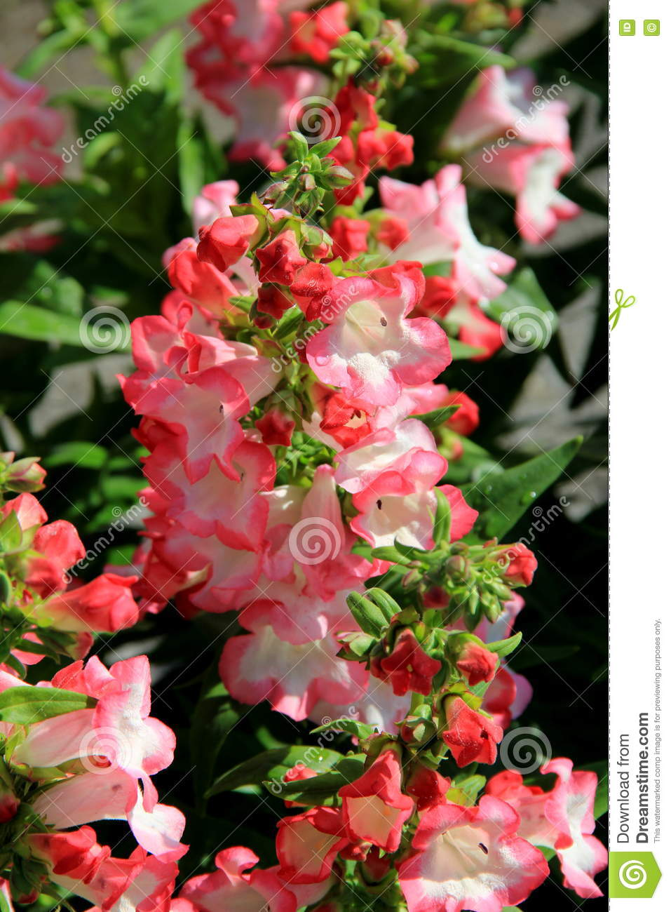 Beautiful Pink And White Flowers In Landscaped Garden Stock Photo