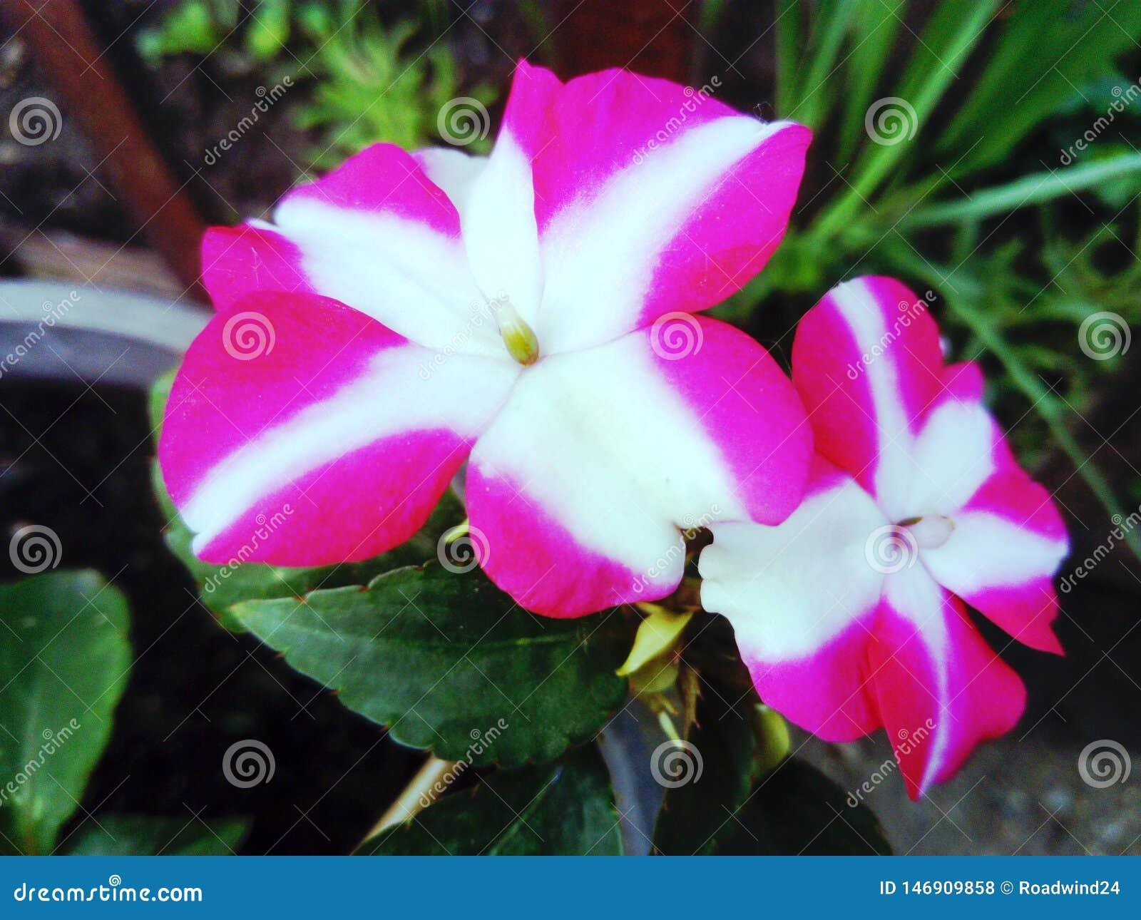 Pink white impatiens flower