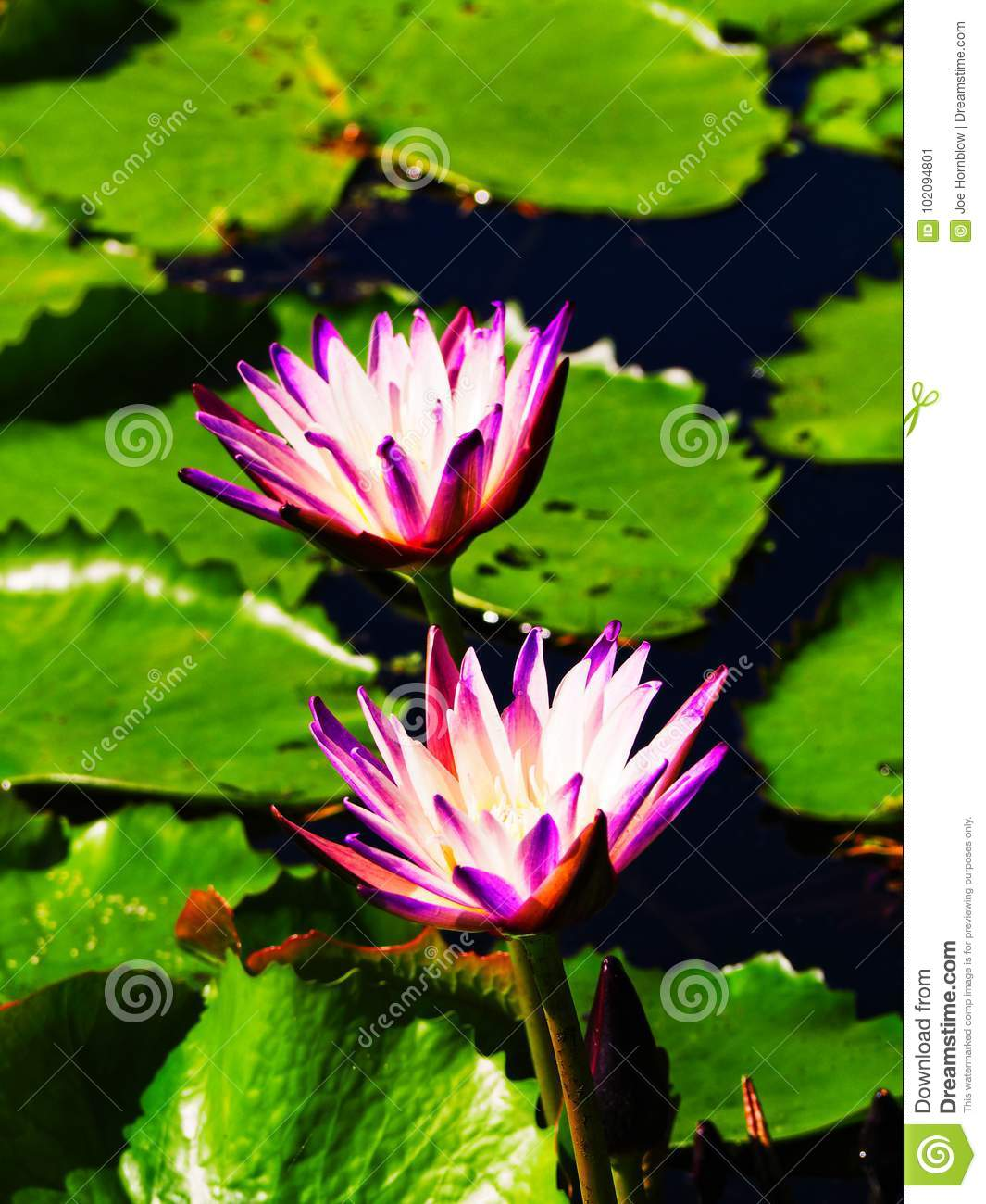 Exotic lotus flowers with leaf background stock image image of download comp izmirmasajfo