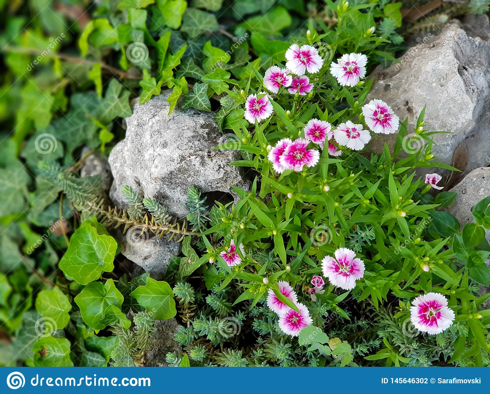 Beautiful pink and white wild flowers in grass and rocks