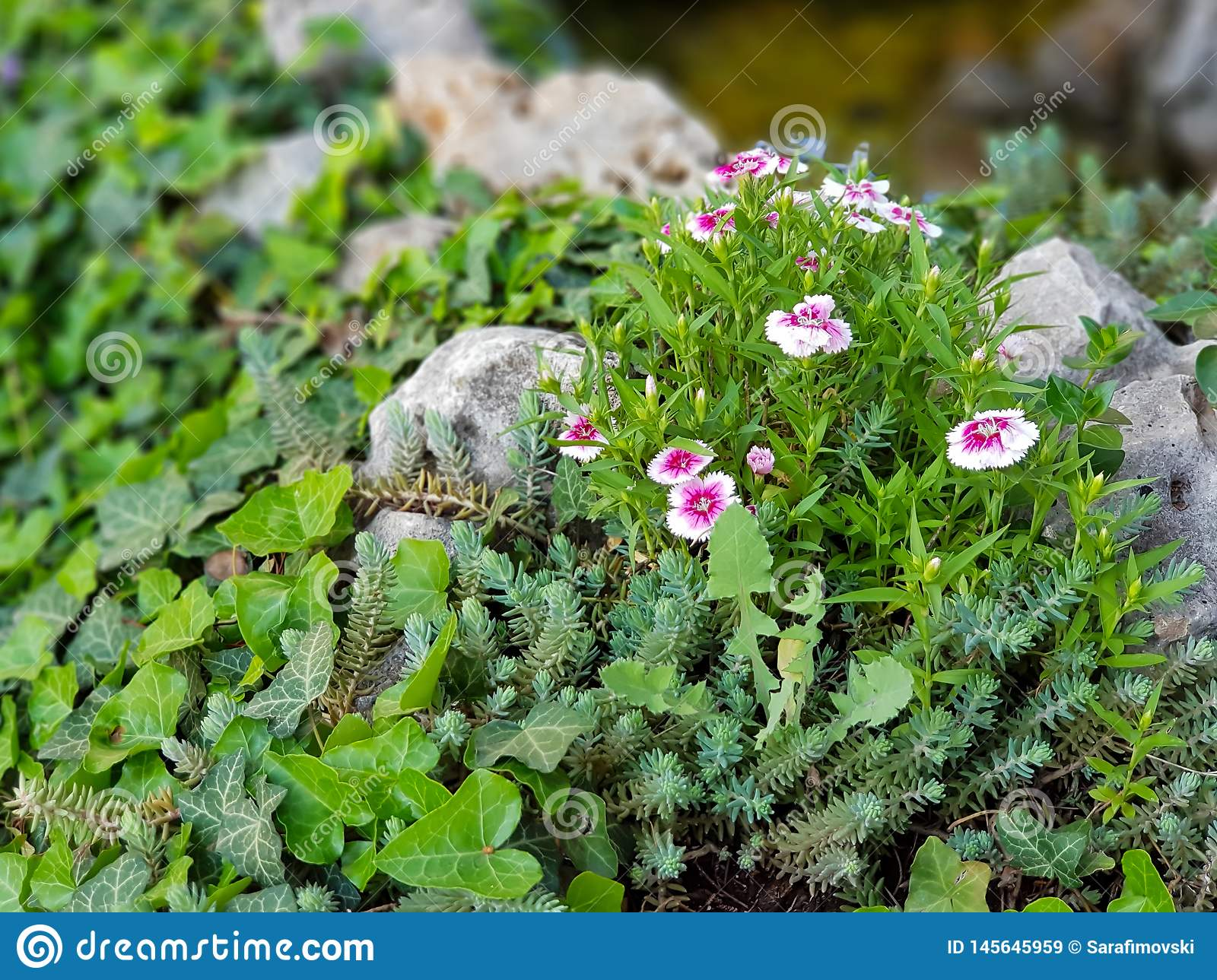 Beautiful pink and white wild flowers in grass and rocks.