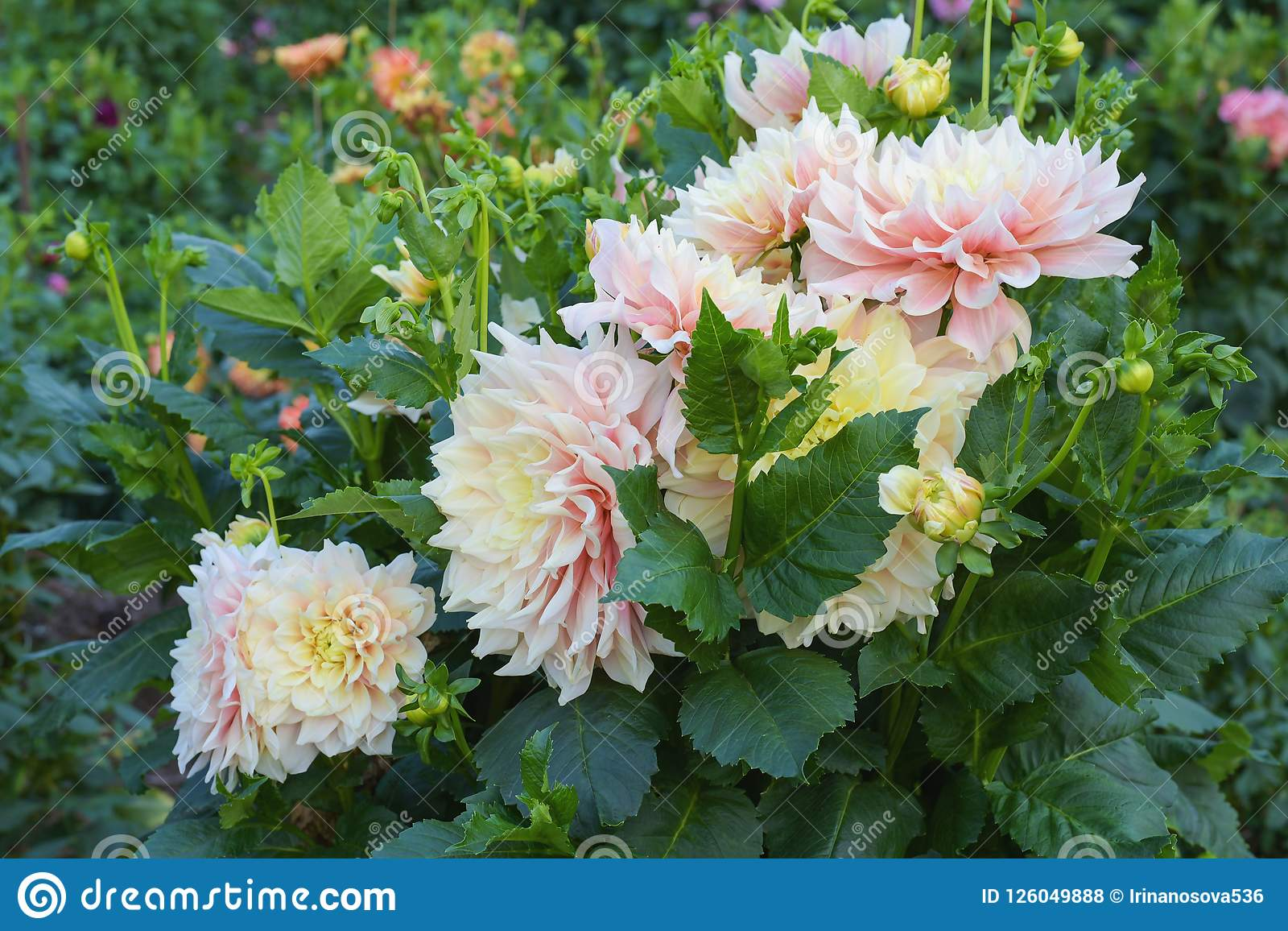 Beautiful Pink Yellow Bicolor Dahlia Flower Blossoming In The Garden