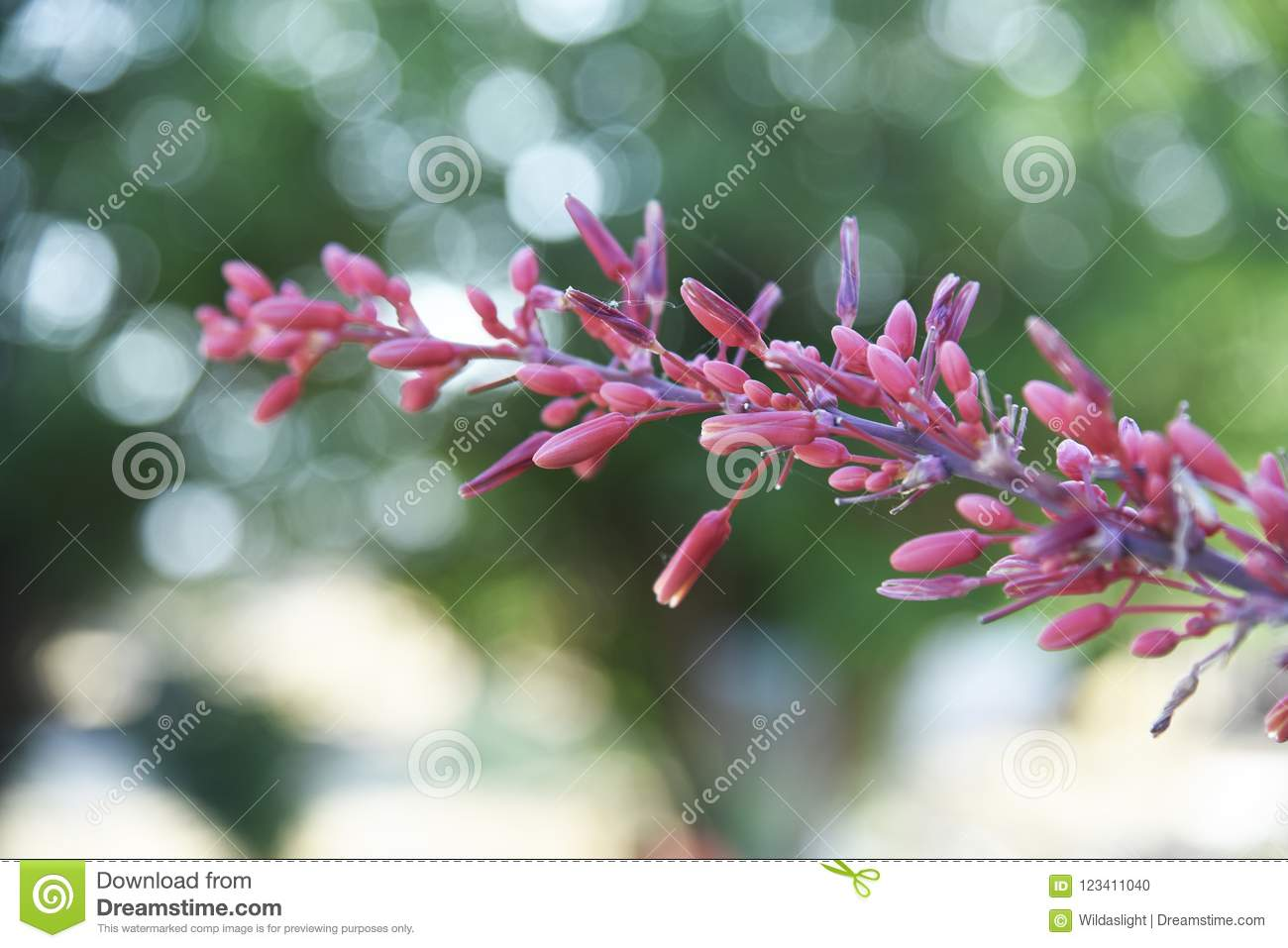 Beautiful pink yucca flowers about to bloom