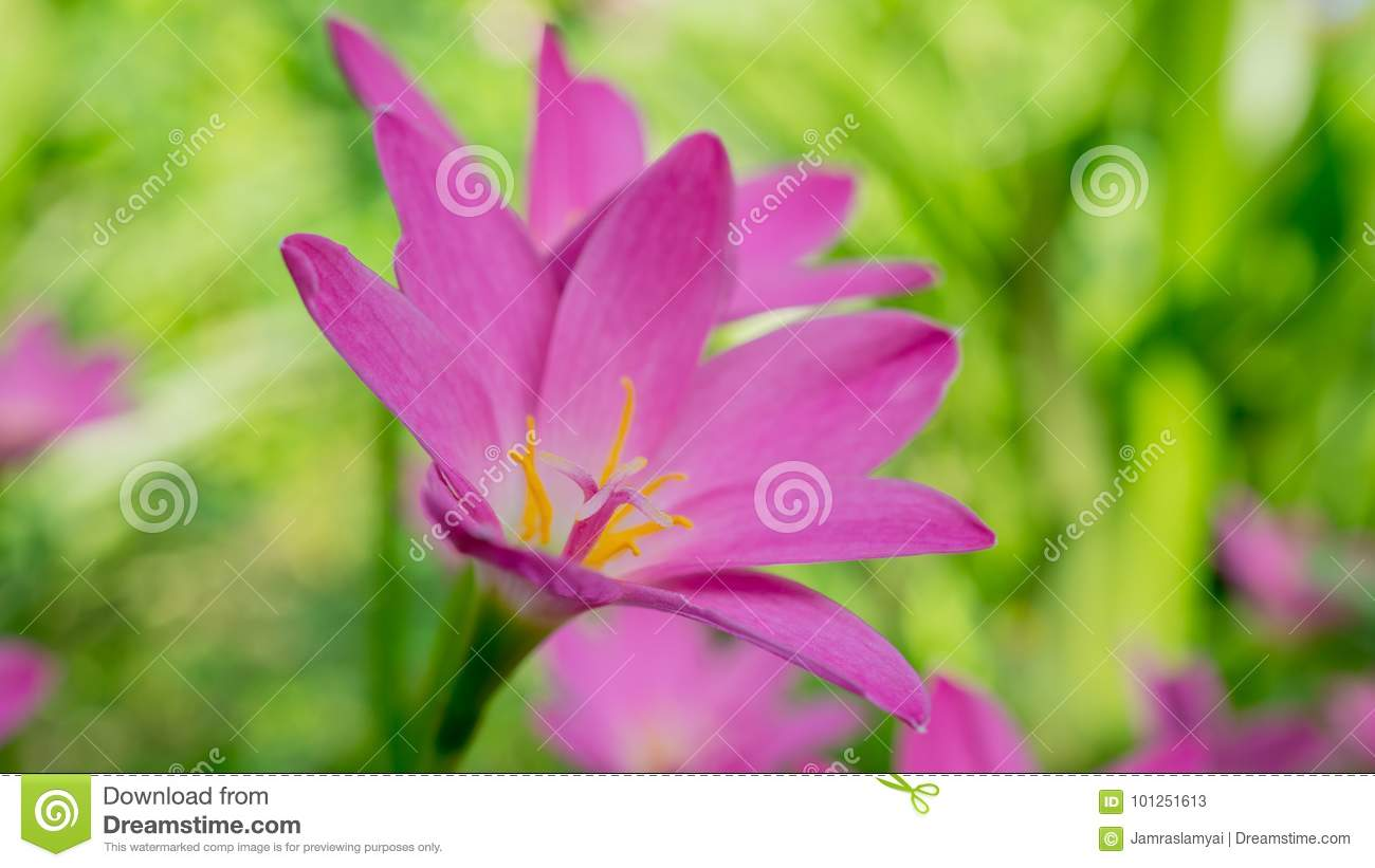 Beautiful Pink Zephyranthes Lily Flower Rain Lily Fairy Lily