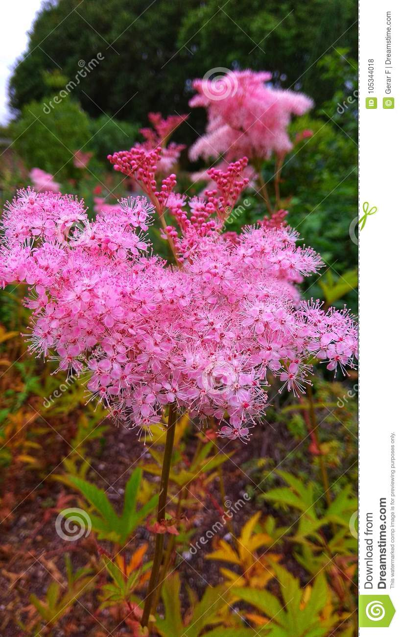 Beautiful plant with a bush of pink flowers