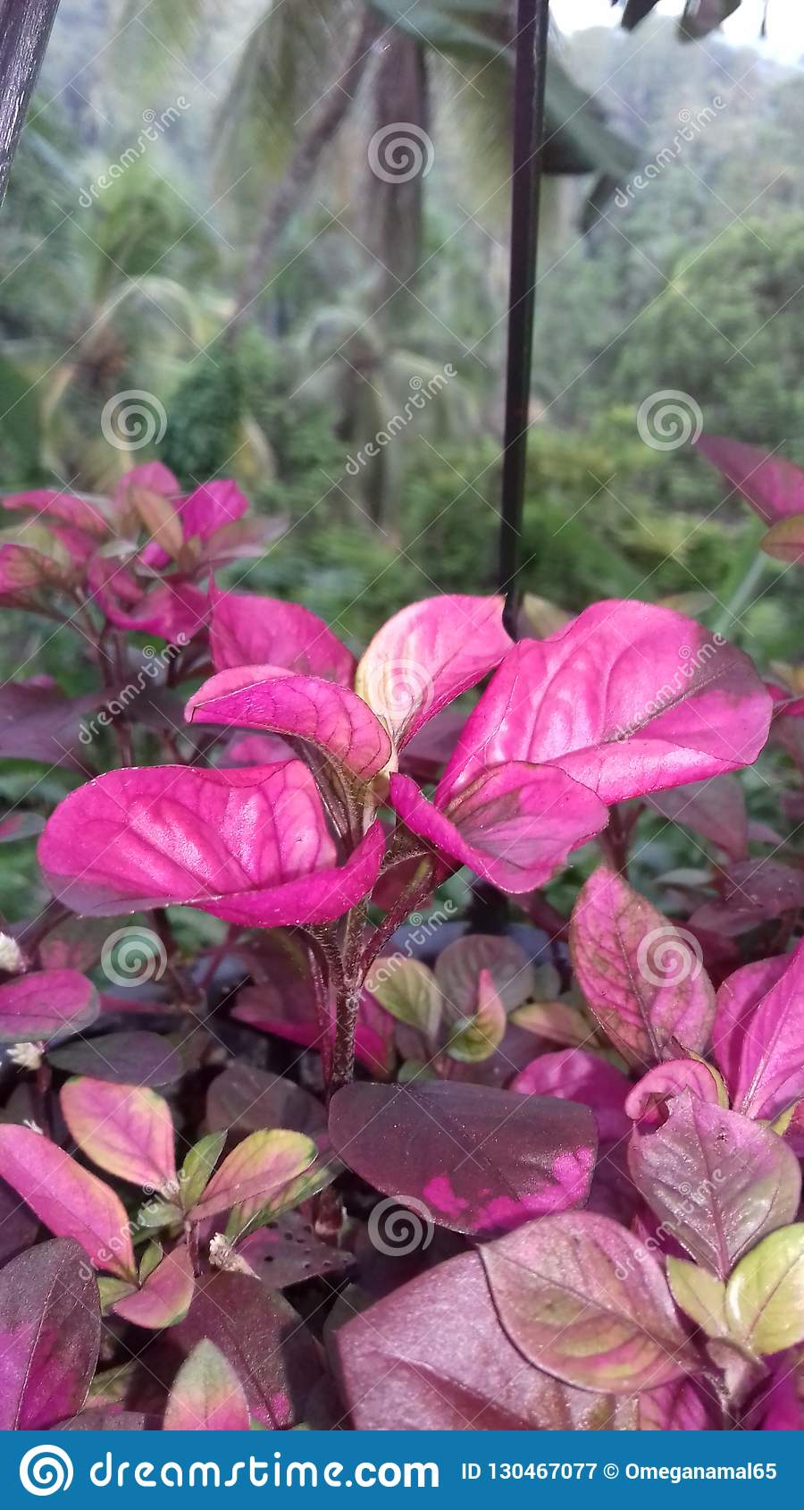 This Is Beautiful Plant In Sri Lanka Stock Image Image Of Southern