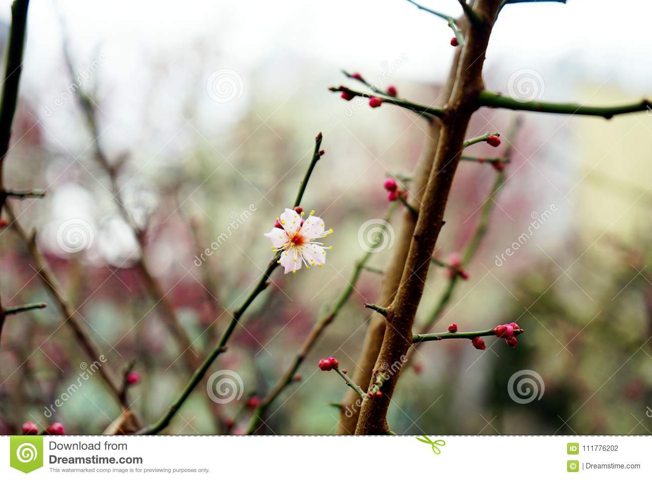 The first blooming plum flower