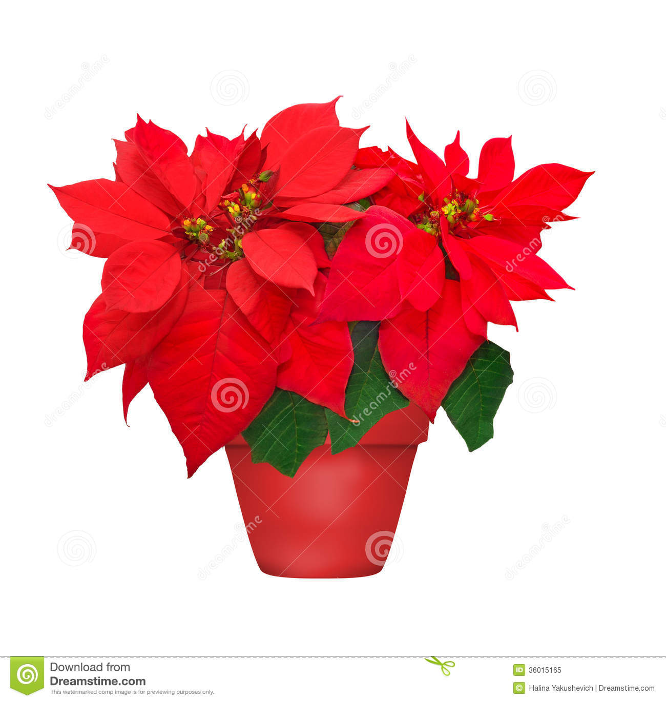 Beautiful Poinsettia In Flowerpot Stock Image Image Of
