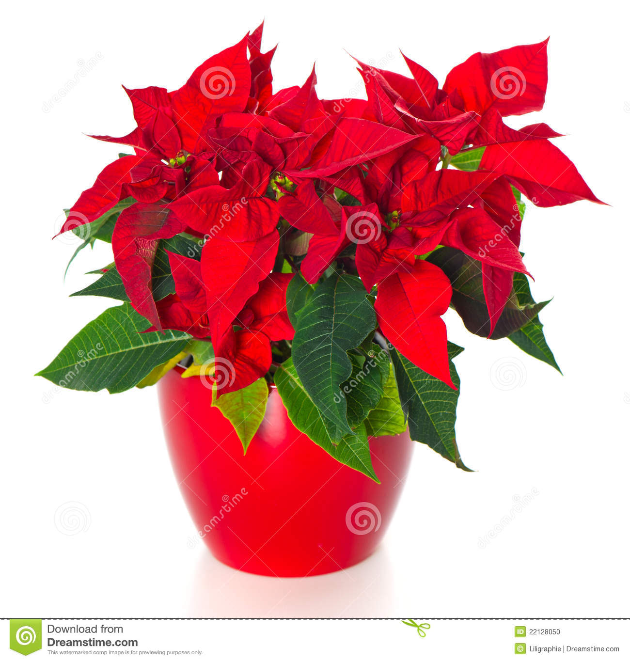beautiful poinsettia. red christmas flower stock photos  image, Natural flower