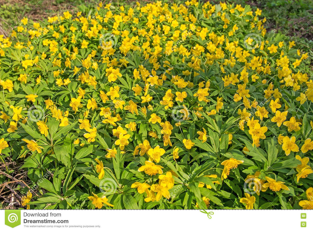 Beautiful poisonous yellow flowers ranunculus repens in spring day beautiful poisonous yellow flowers ranunculus repens in spring day mightylinksfo