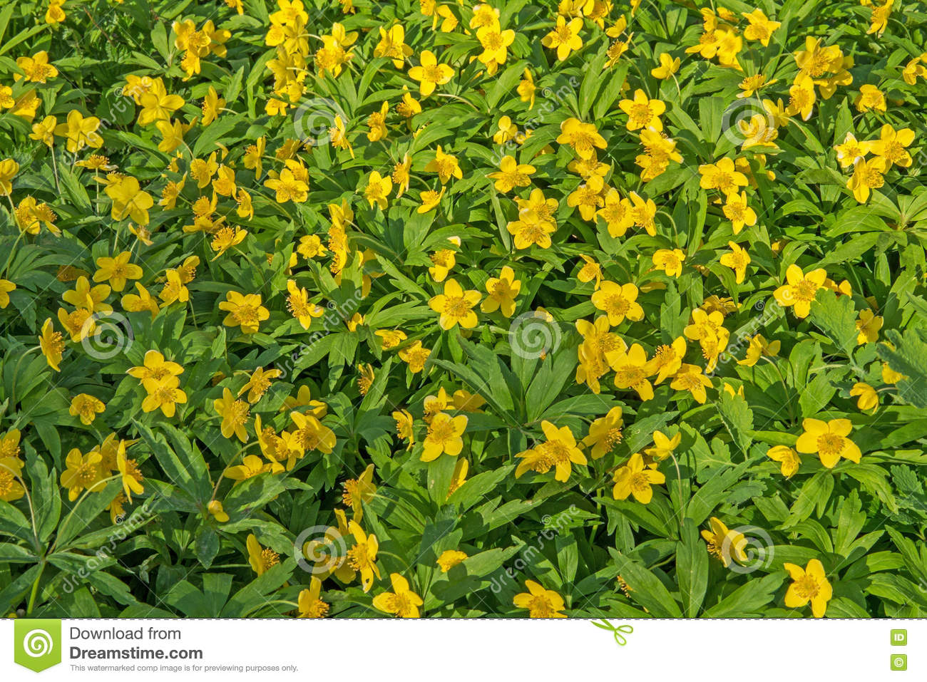 Beautiful Poisonous Yellow Flowers Ranunculus Repens In Spring Day