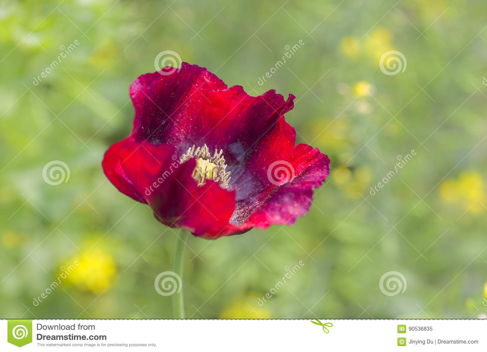 Beautiful Poppy Flower Stock Image Image Of Design Decorative