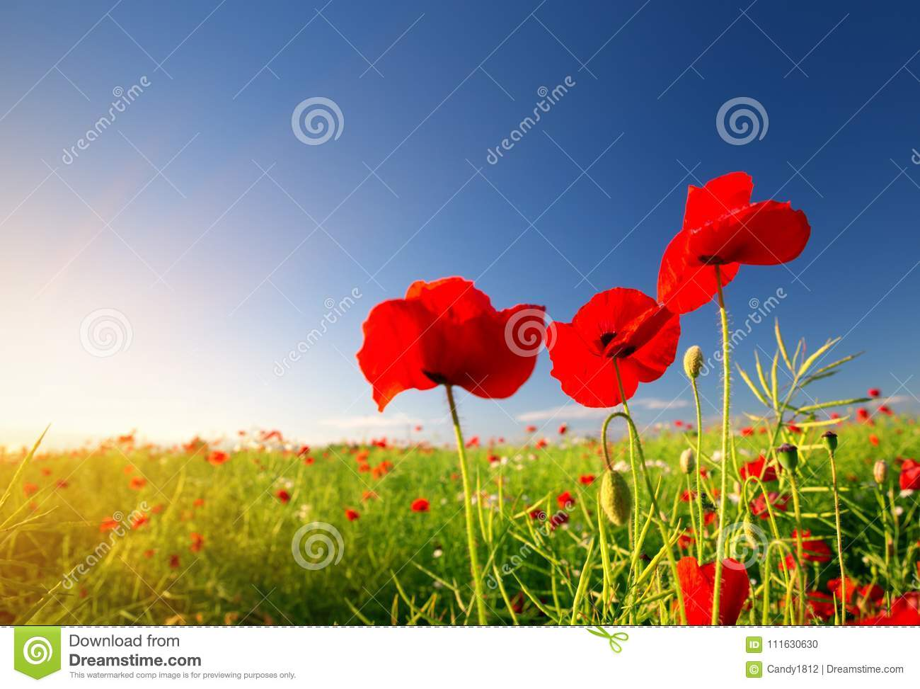 Beautiful Poppy Flowers On The Field Stock Photo Image Of Bloom