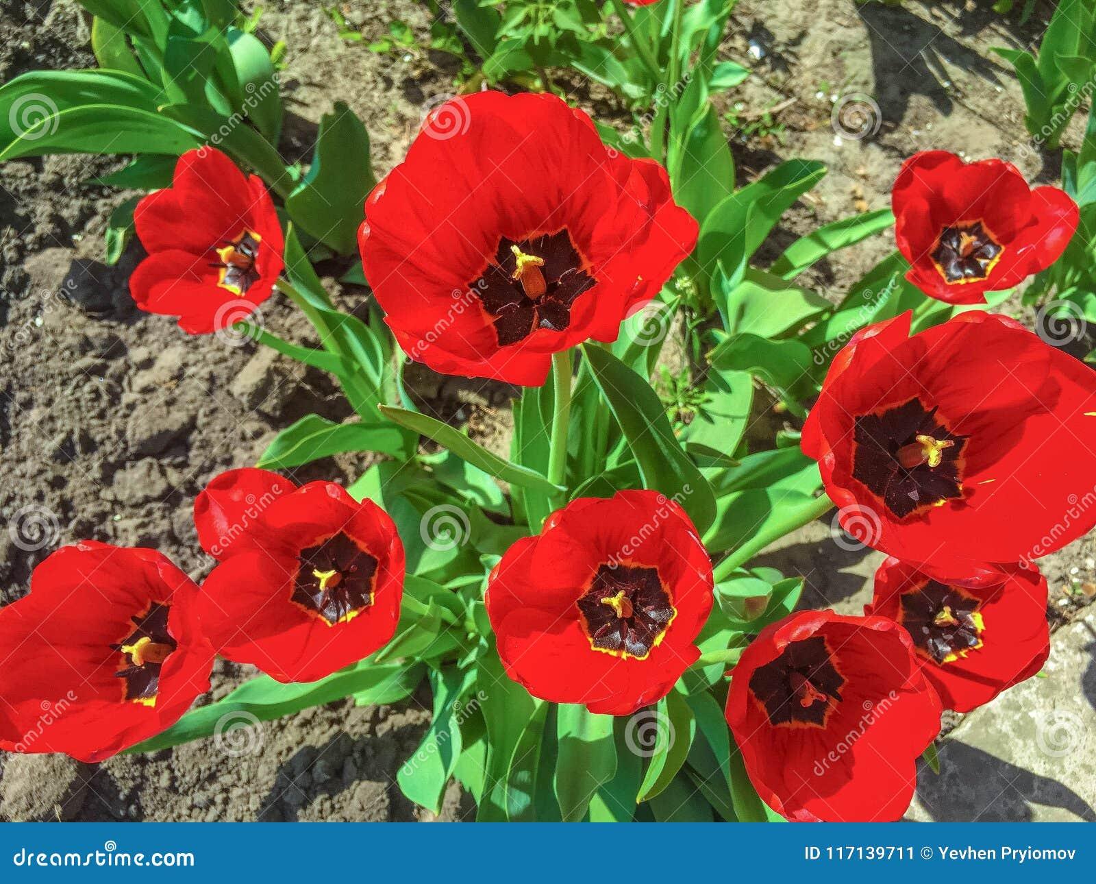 Beautiful Poppy Flowers In The Garden Stock Image Image Of Poppy