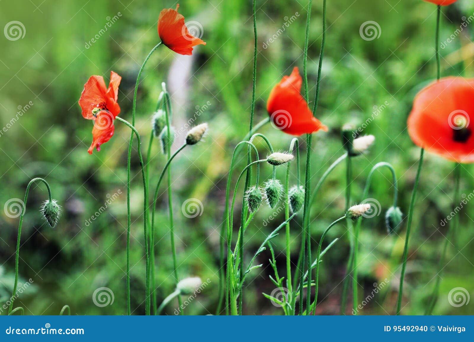 Beautiful Poppy Flowers On The Meadow In Summertime Red Meadow