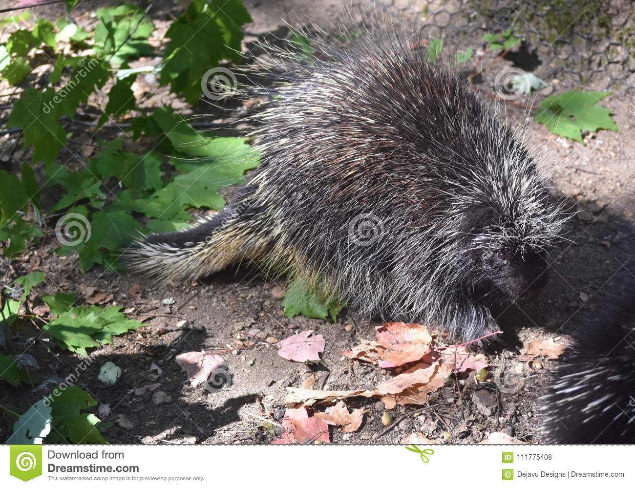 Beautiful porcupine with black quills and white tips