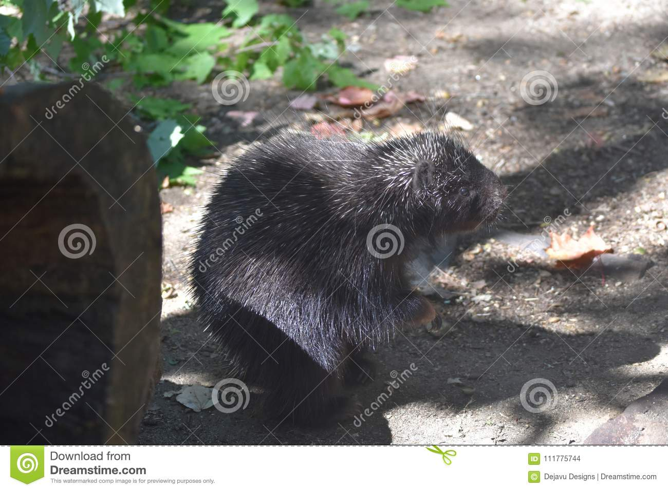 Beautiful porcupine with black and white quills