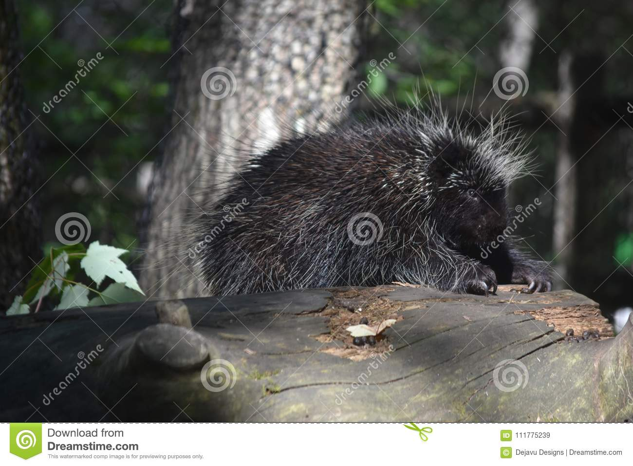 Beautiful porcupine with large black and white quills