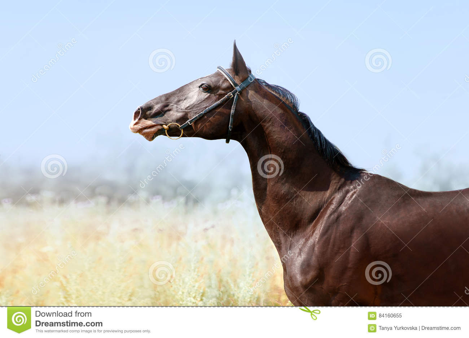 Beautiful portrait of a Akhal-Teke horse