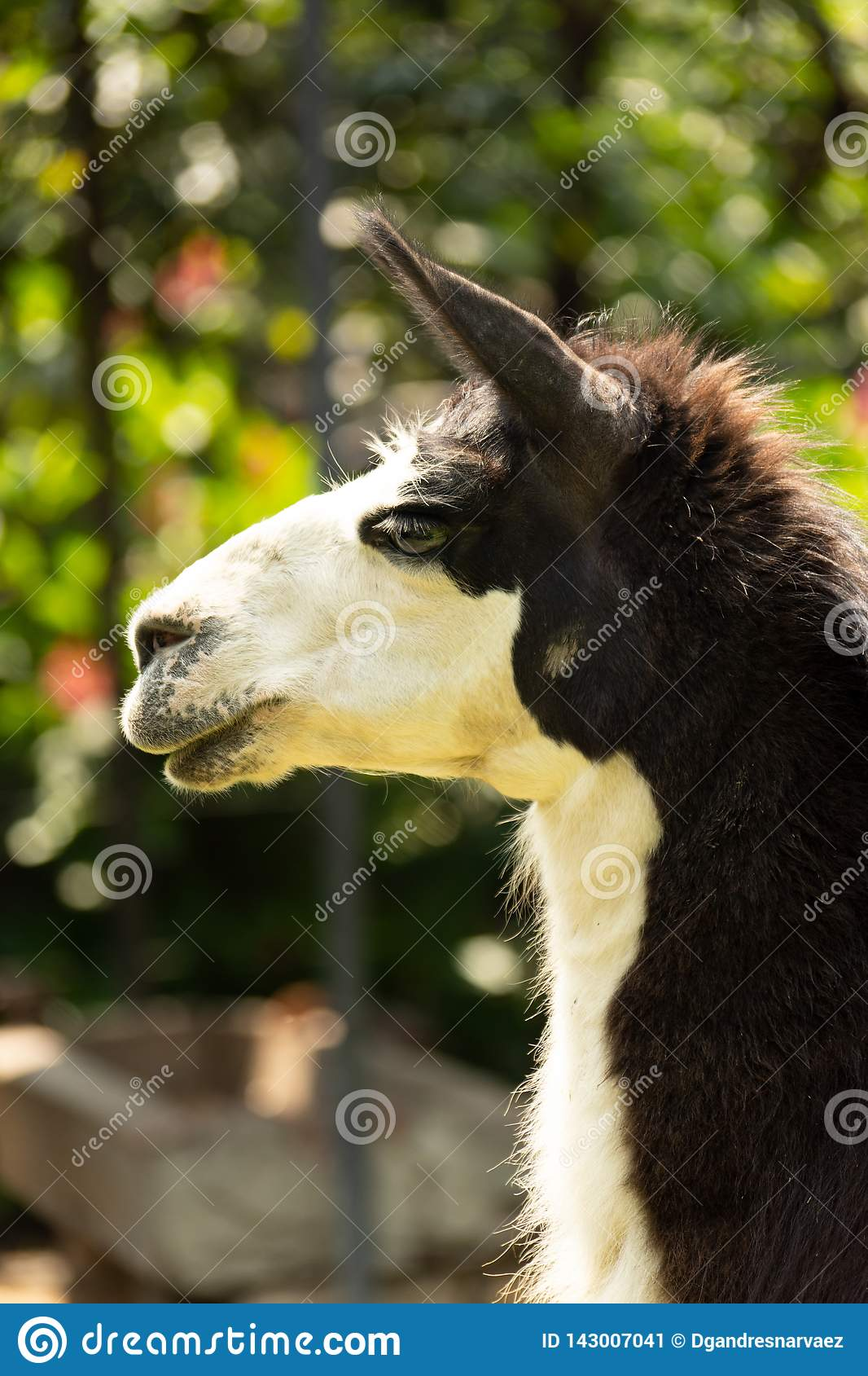 Portrait of black and white llama