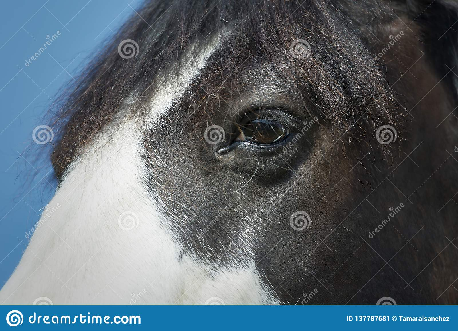 Close-up of a black and white paint horse eye