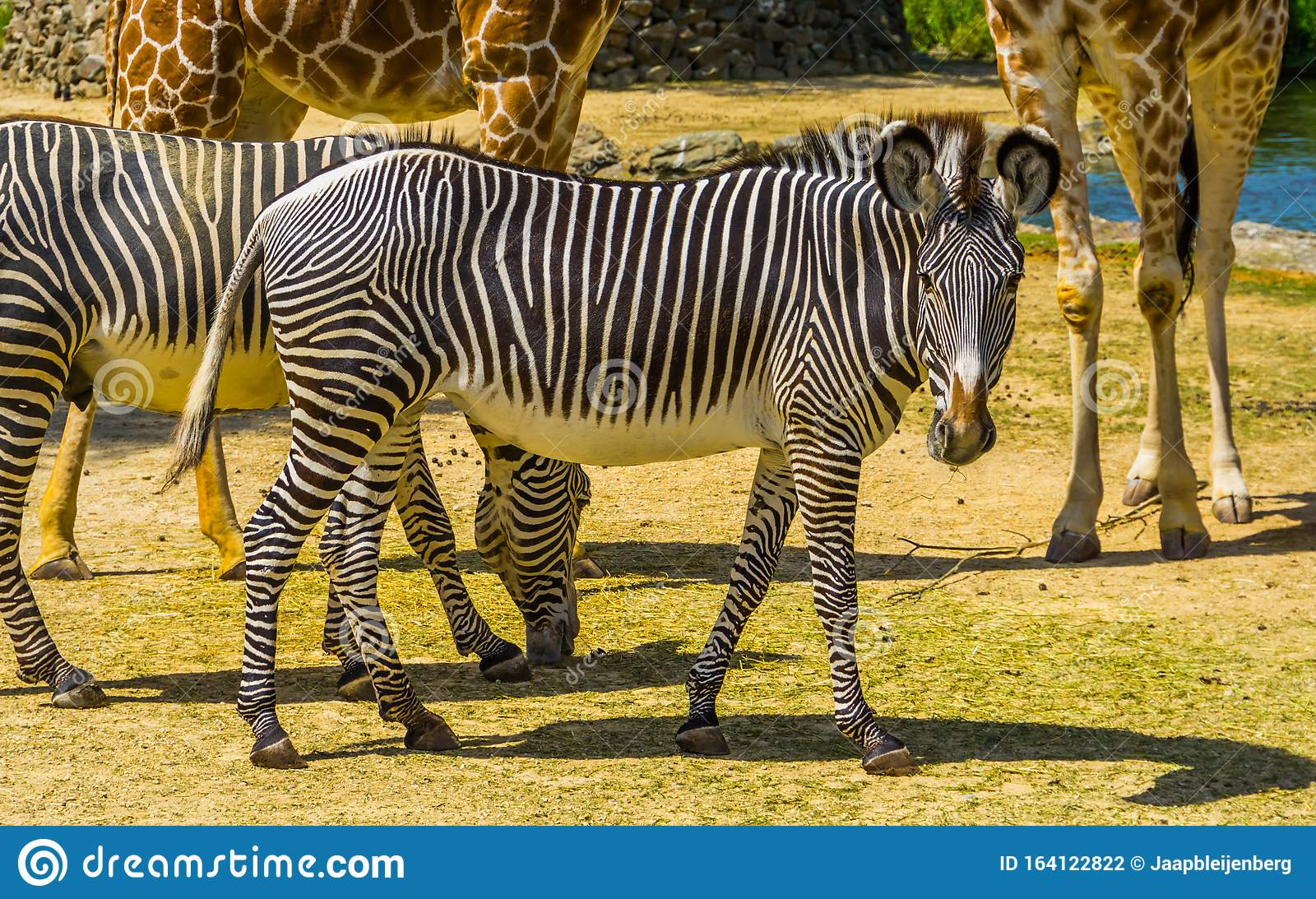 Beautiful Portrait Of A Imperial Zebra Endangered Animal Specie From Africa Black And White Striped Wild Horse Stock Photo Image Of Exotic Imperial 164122822