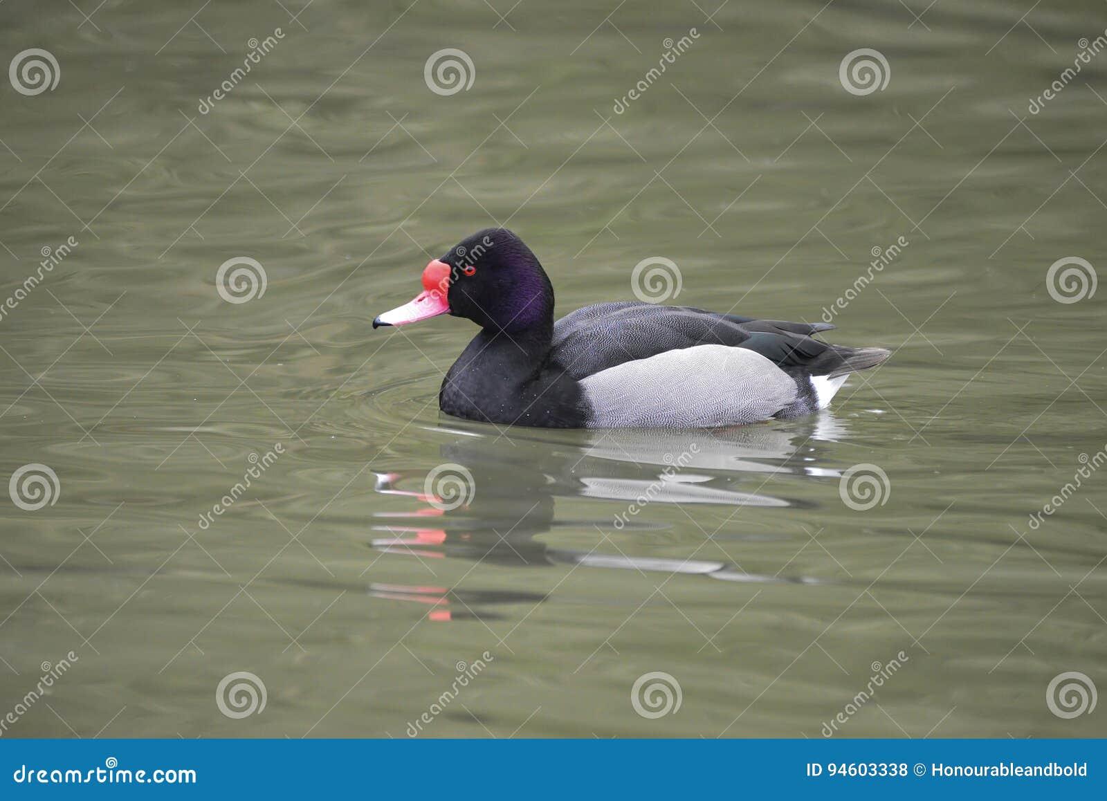 Beautiful Portrait of Rosy-Billed Pochard duck bird Netta Peposaca on water in Spring