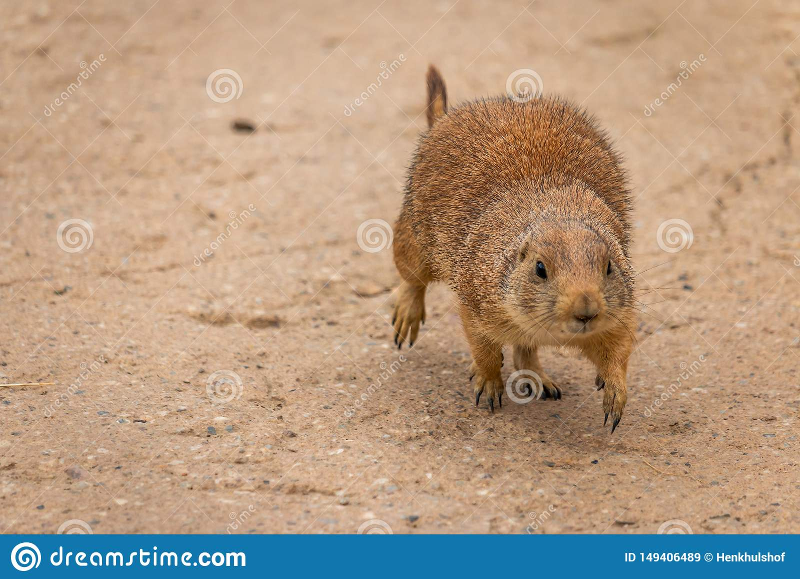 A beautiful prairie dog Cynomys ludovicianus