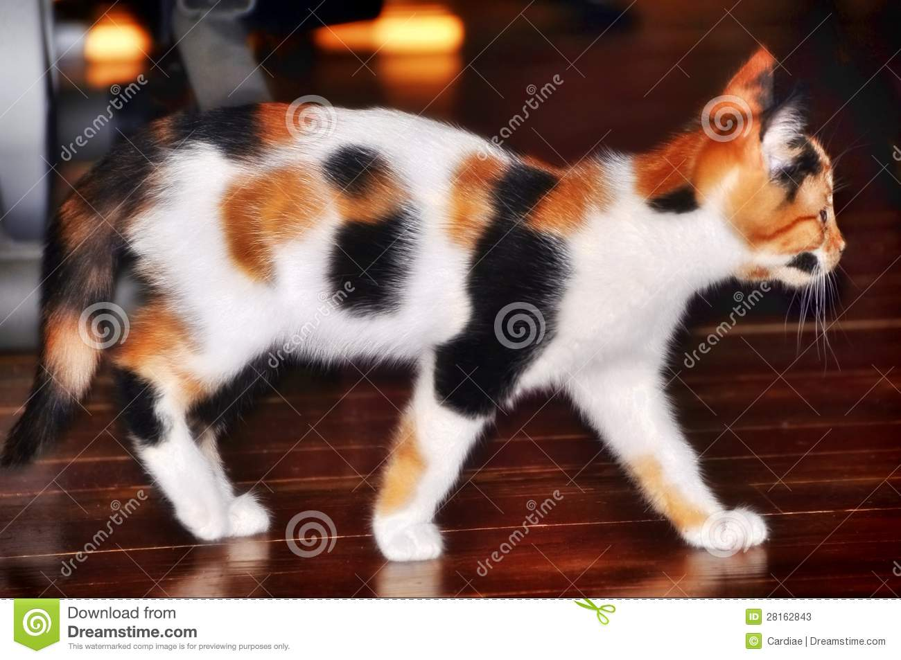 Ancient Greece Floor Plan Beautiful Pretty Calico Cat Kitten Stock Photos