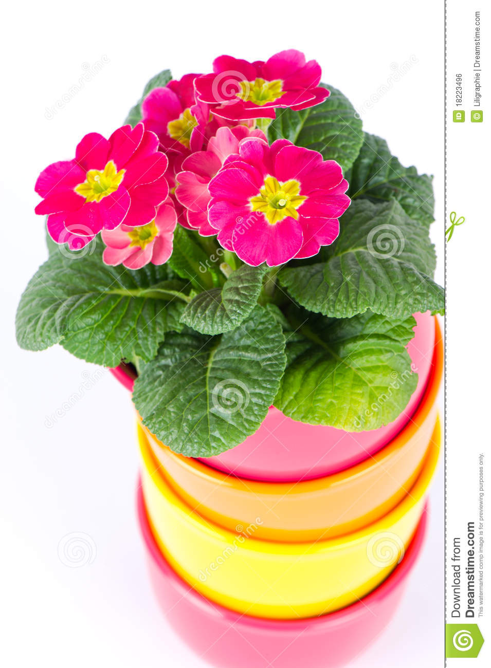 Beautiful Primulas Flowers In Colorful Buckets Royalty ...