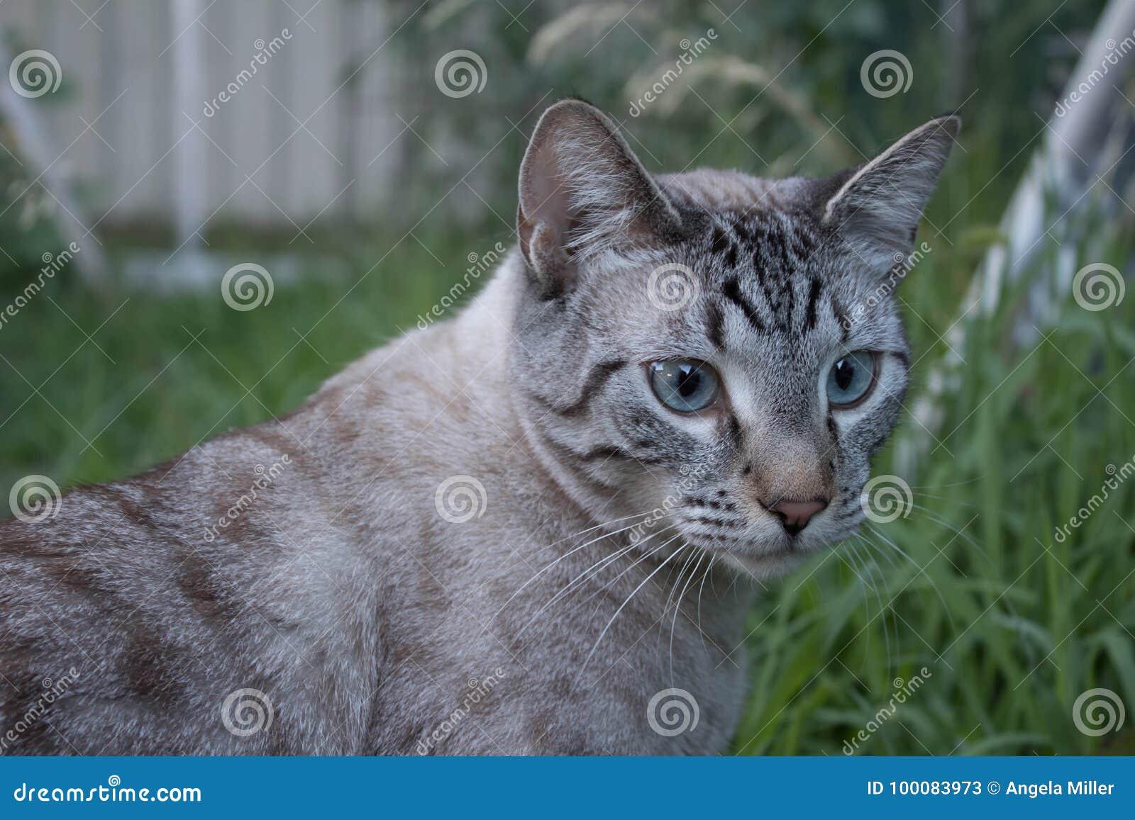 Lynx Point Siamese Cat Outside