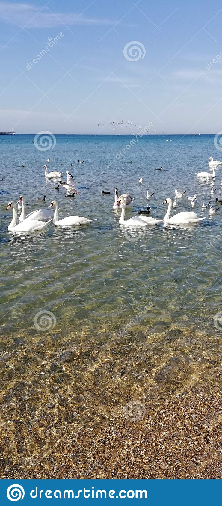 Beautiful swans and sun glare on the sea water