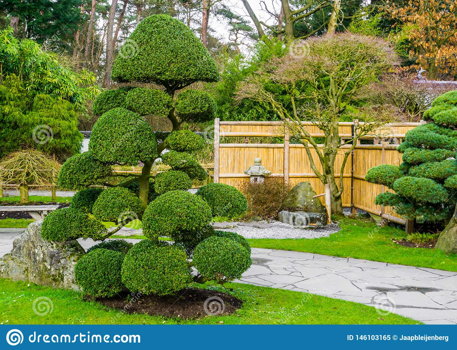 Beautiful pruned tree in a japanese garden, topiary art forms, Gardening in Asian tradition
