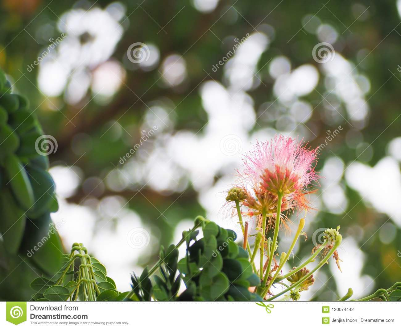 Beautiful Puff Of Pink Mimosa Flowers Stock Photo Image Of