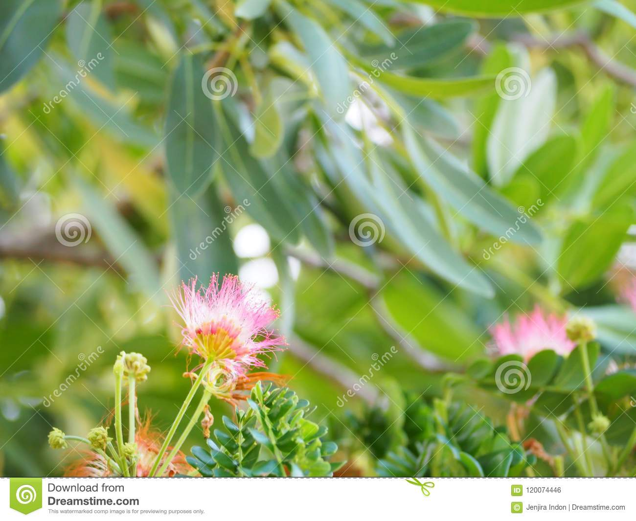 Beautiful Puff Of Pink Mimosa Flowers Stock Photo Image Of Color
