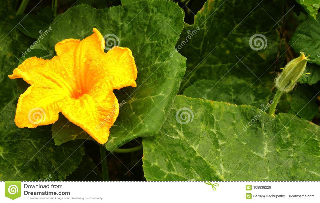 A Pumpkin Flower With Bud And Leaves In The Farm Field Stock Photo