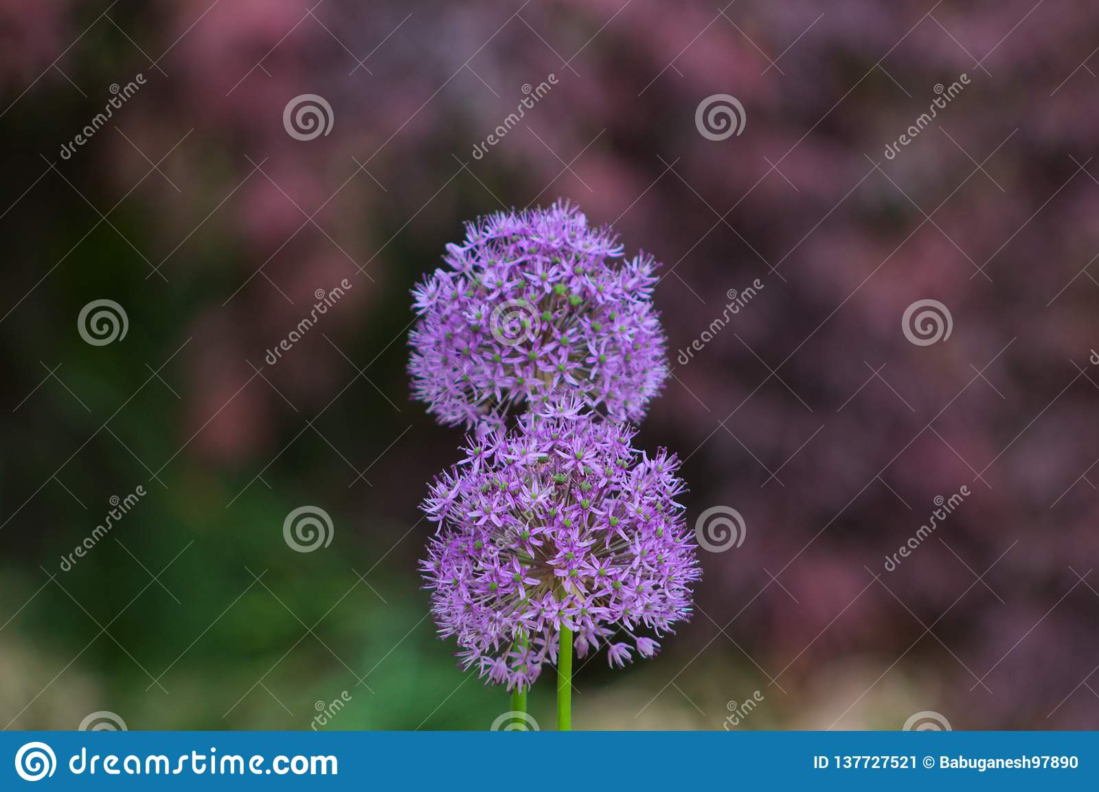 Beautiful purple Allium flower in the summer.