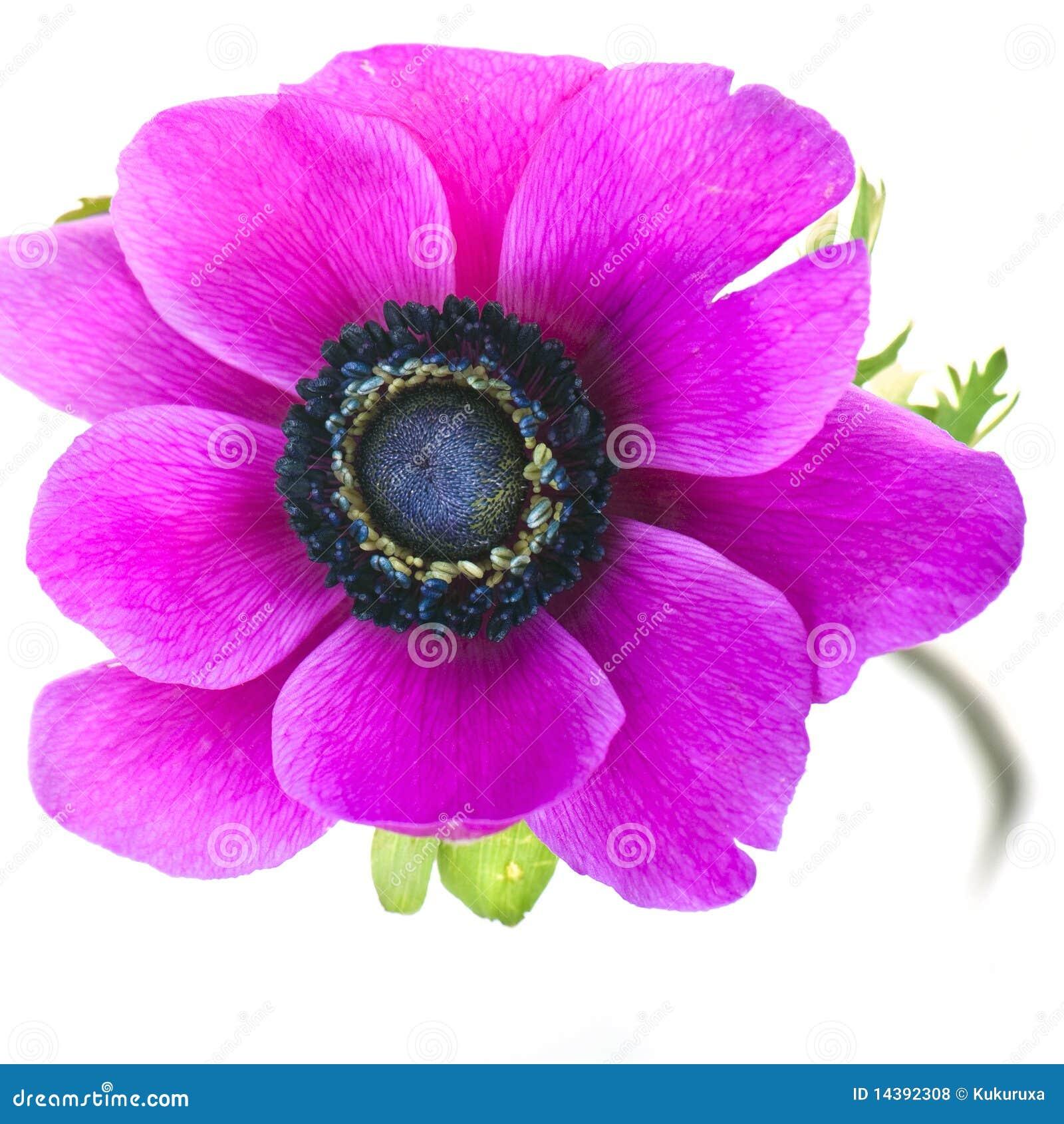 Beautiful Purple Anemone Flower Royalty Free Stock Photos