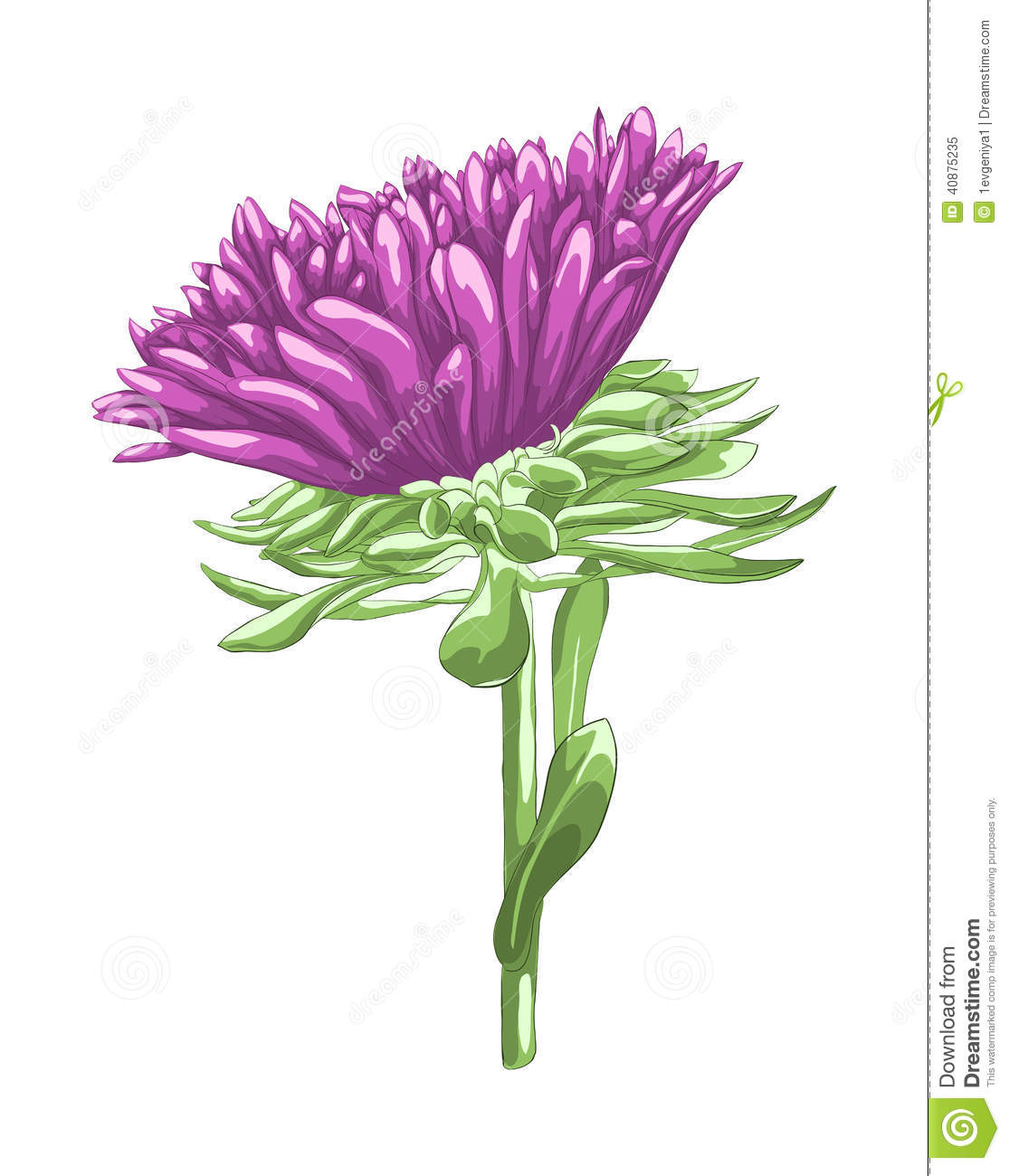 Aster Flower Line Drawing : Beautiful purple aster isolated on white background stock