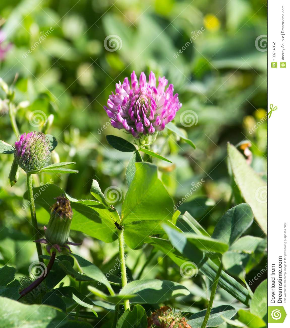 Beautiful Purple Clover Flower In Nature Stock Photo Image Of