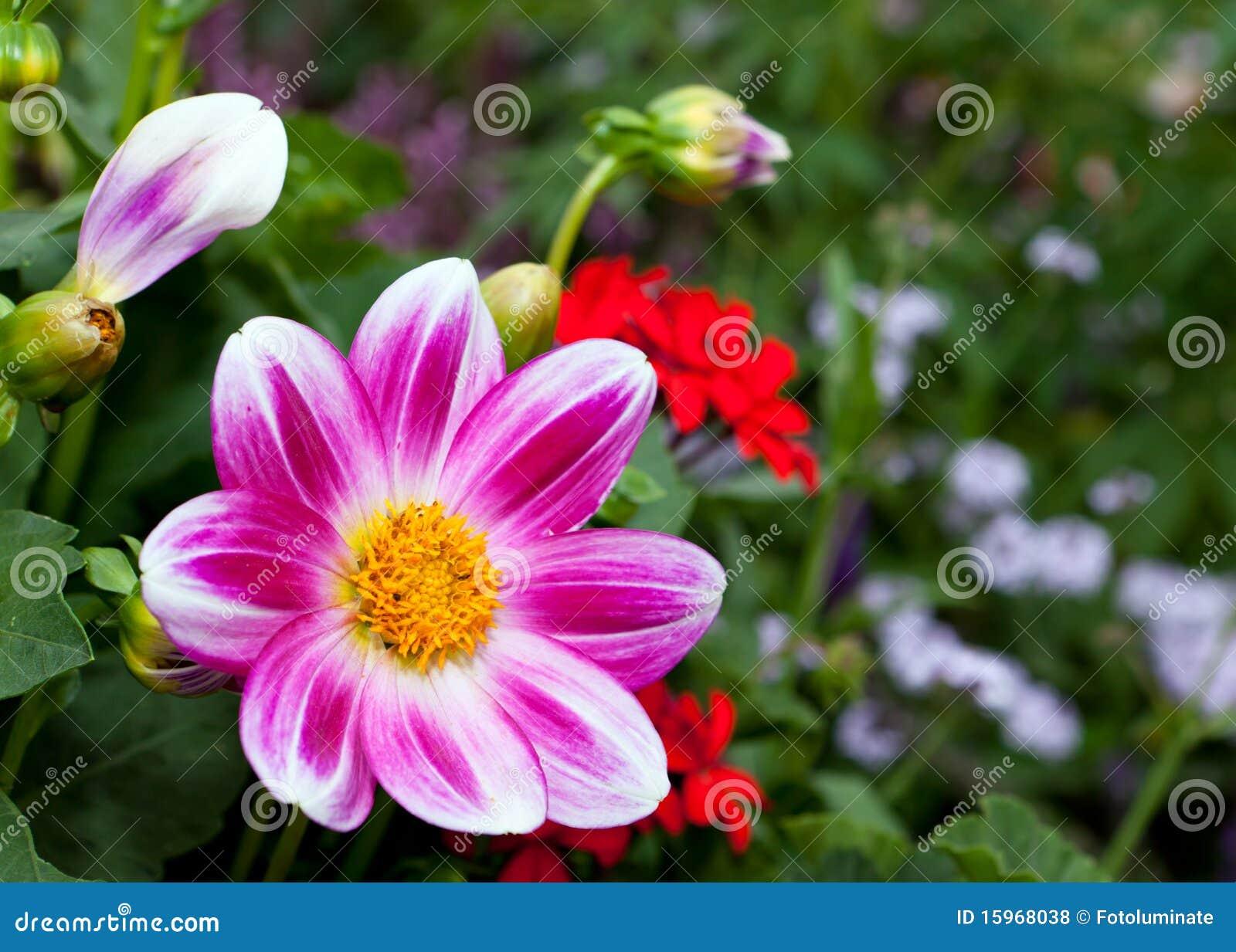 Beautiful purple daisy flower stock photo image of purple yellow beautiful purple daisy flower izmirmasajfo Choice Image