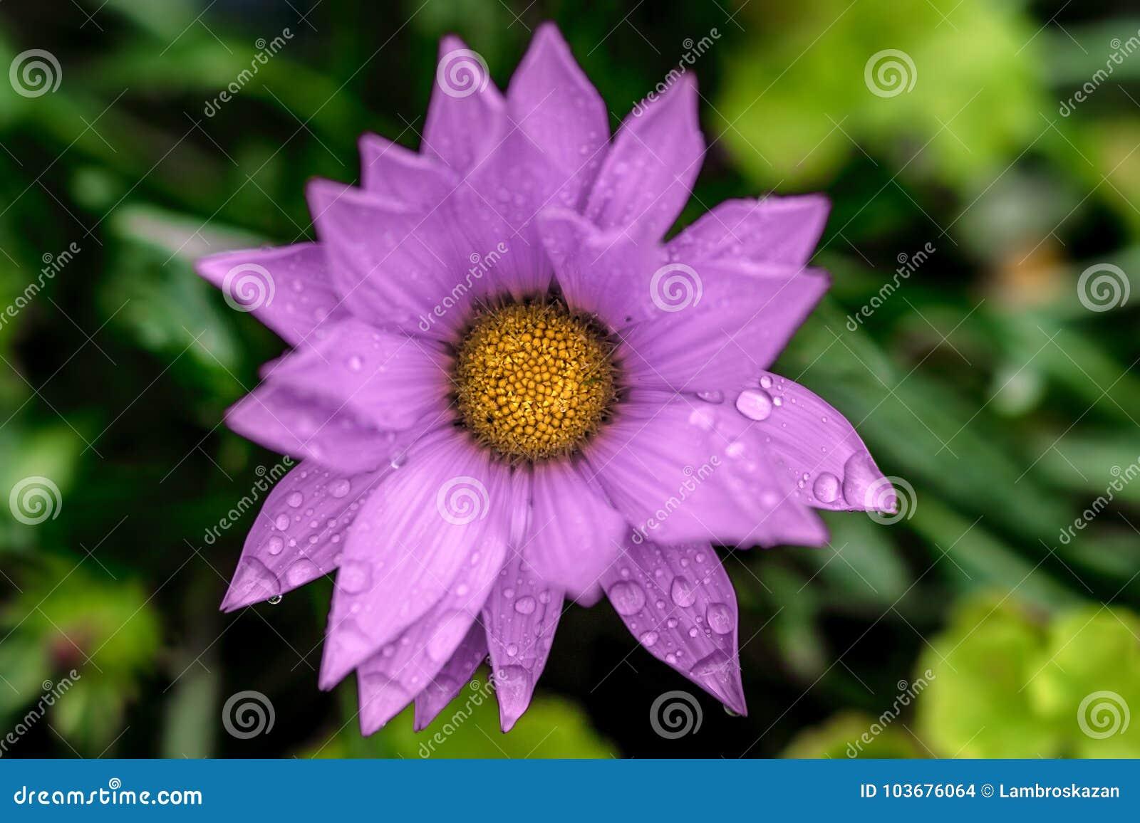 Beautiful Purple Flower After the Rain