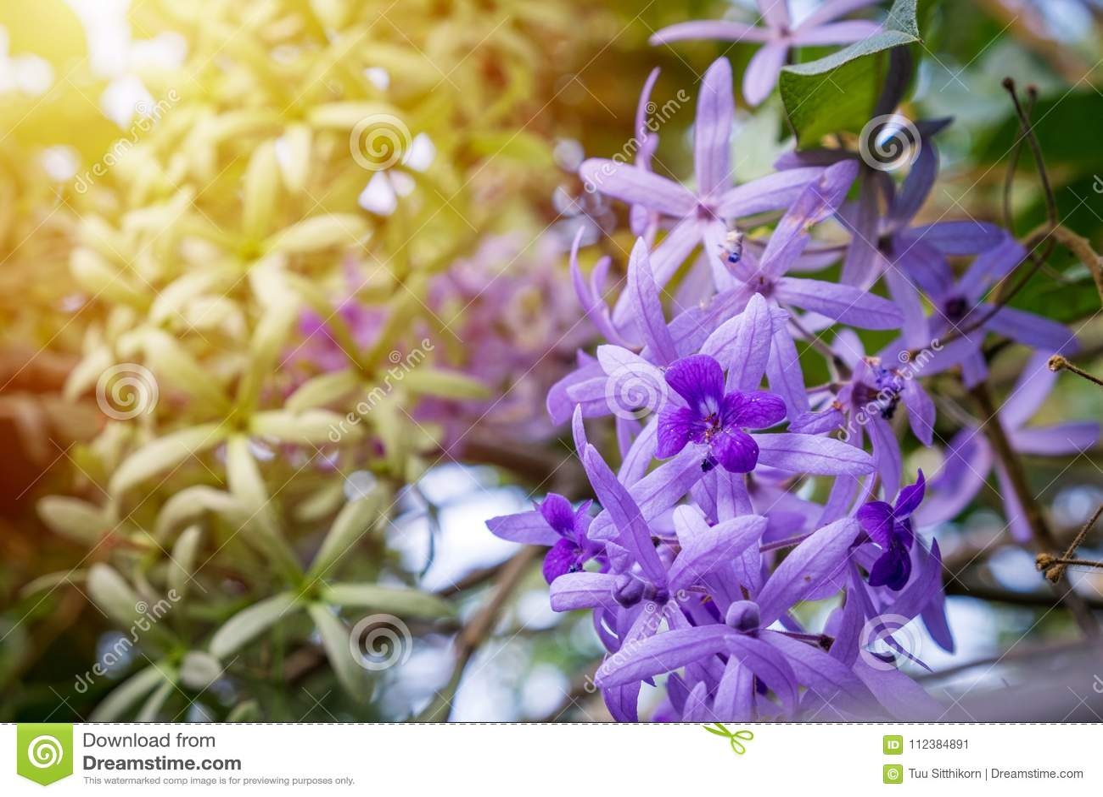 Beautiful Purple Flowers In The Gardensandpaper Vine Stock Image