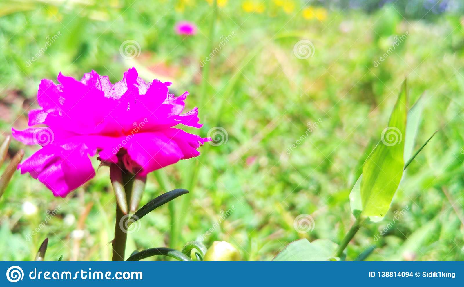 Beautiful purple flower in the garden.
