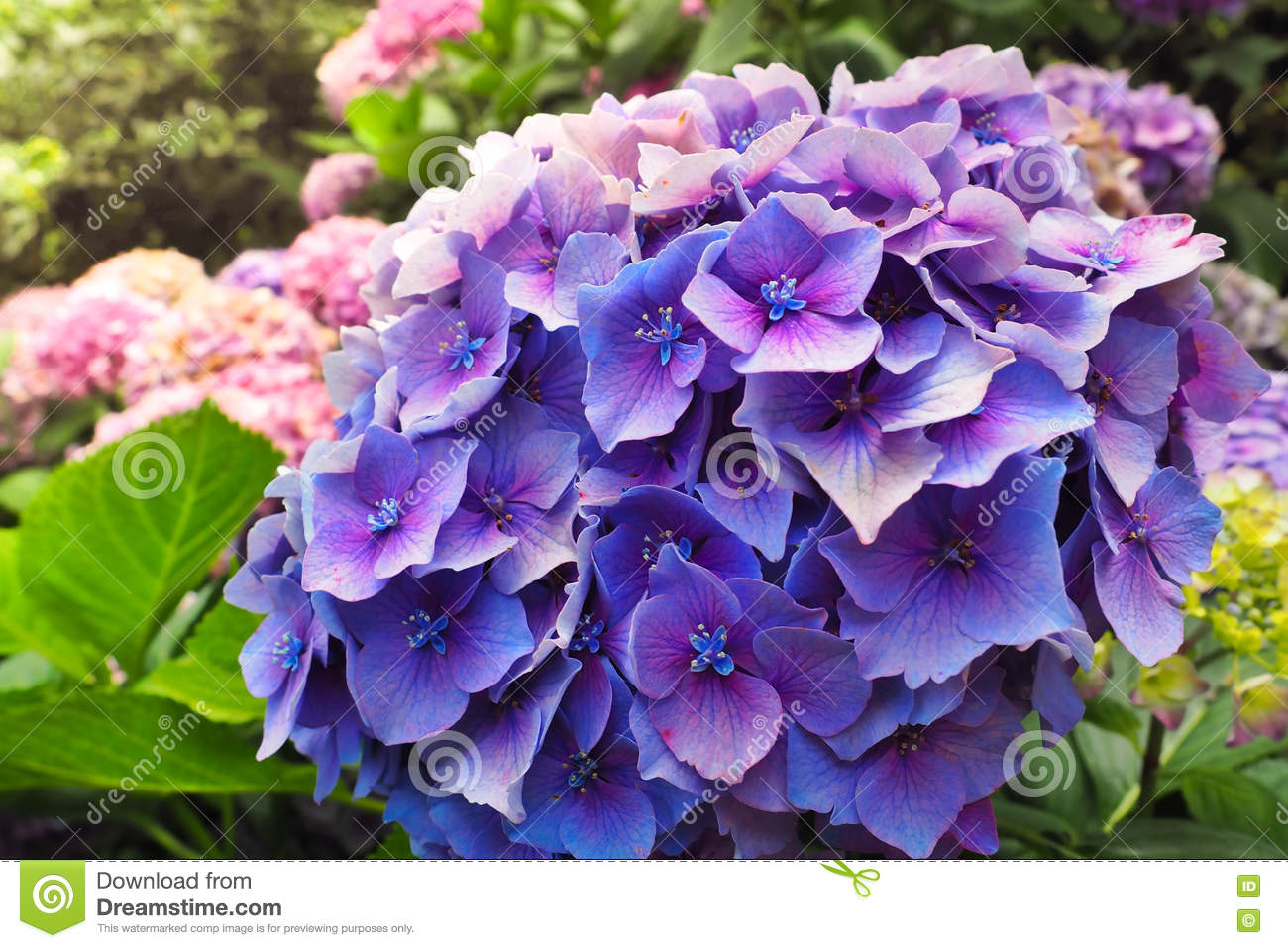 Beautiful purple flowers of hydrangea macrophylla or hortensia in beautiful purple flowers of hydrangea macrophylla or hortensia in the garden izmirmasajfo