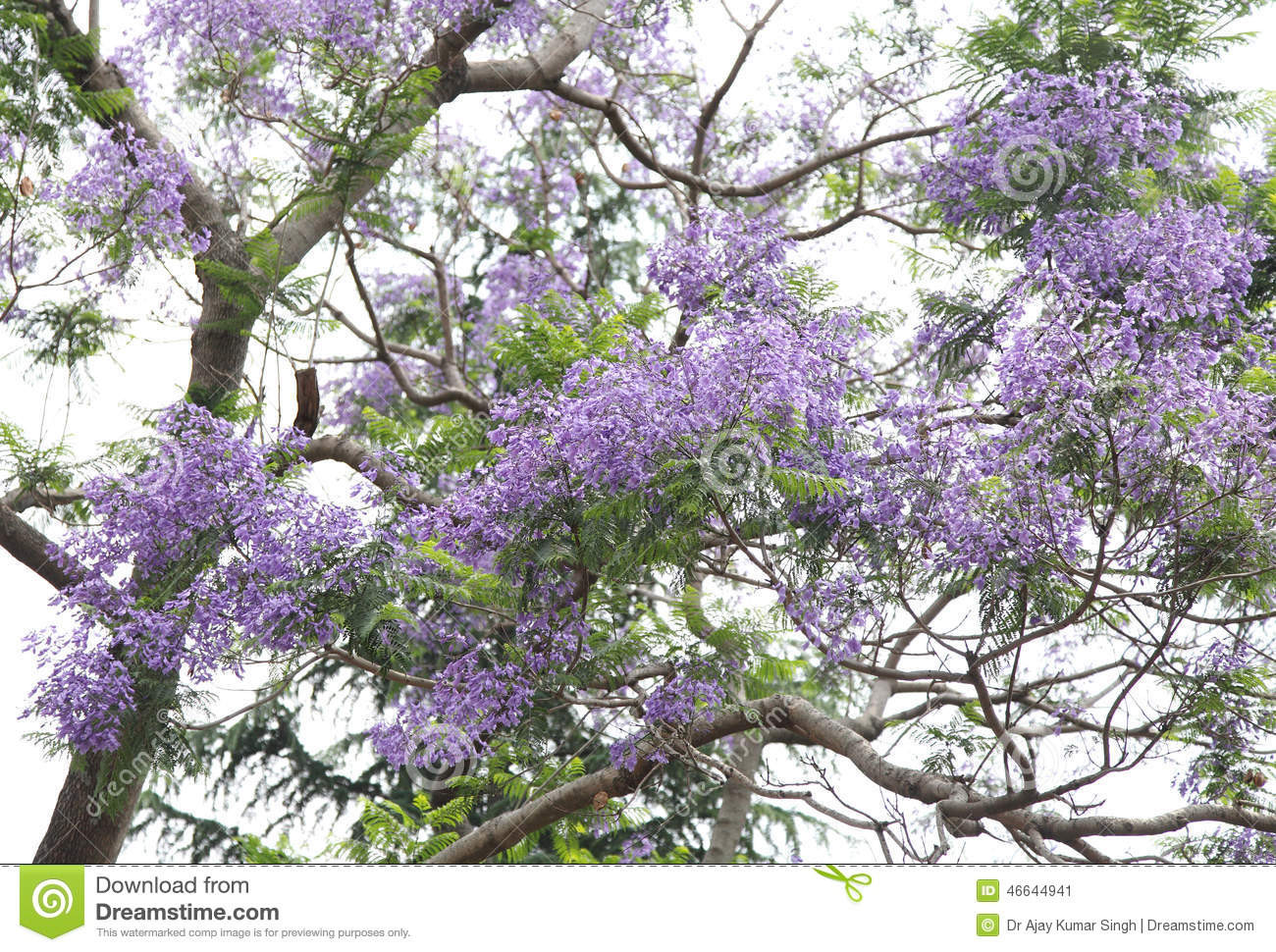 Shrubs with purple flowers at end of branch - Beautiful Purple Flowers Of Jacaranda