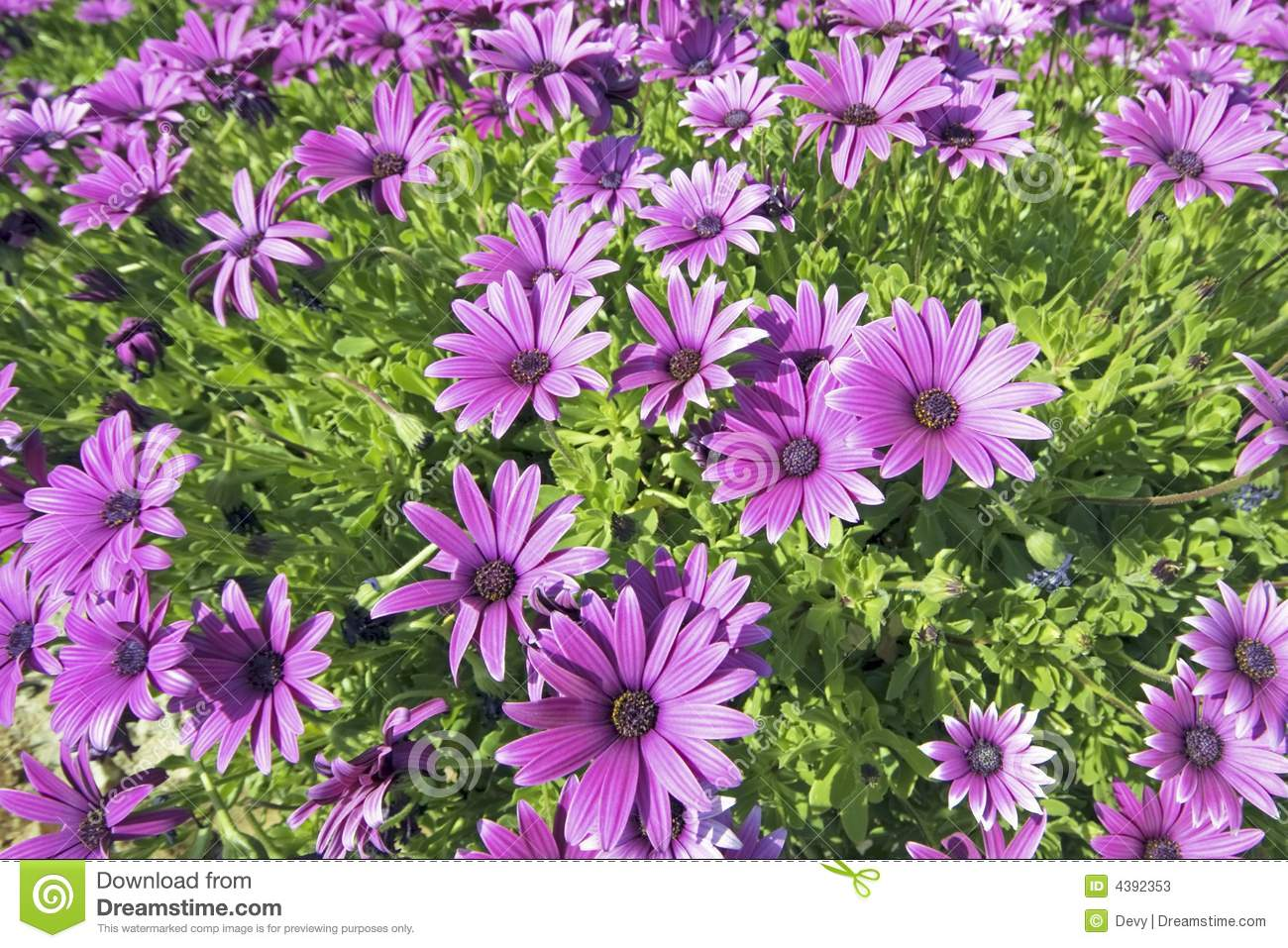 Beautiful Purple Flowers In Spring Stock Image Image Of Plant