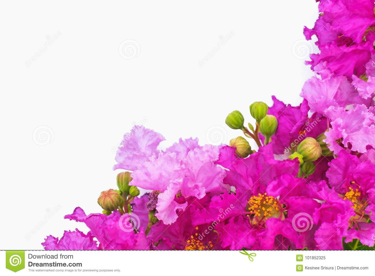 Beautiful purple flowers on white background stock image image of download beautiful purple flowers on white background stock image image of bloom border izmirmasajfo